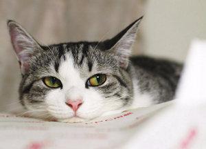Эклампсия у кошек: как проявляется, что делать, как помочь любимцу