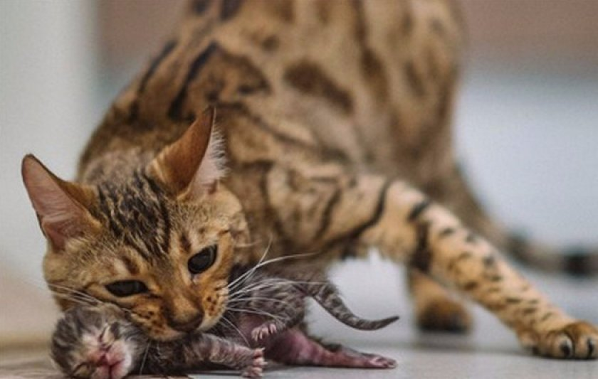 Что такое эклампсия и почему она бывает у кошек