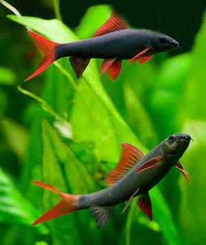 Горманальные инекции акварицмным рыбам